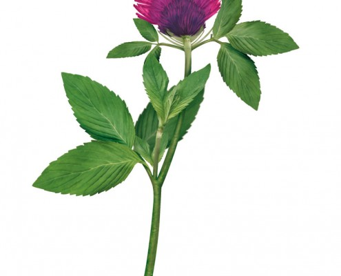 Flor magenta